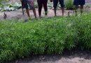 PM prende quarteto que cultivava cerca de 800 pés de maconha em Tailândia